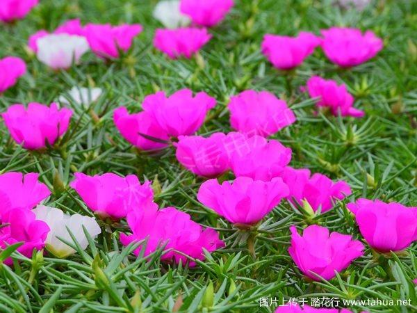 紫大花.jpg