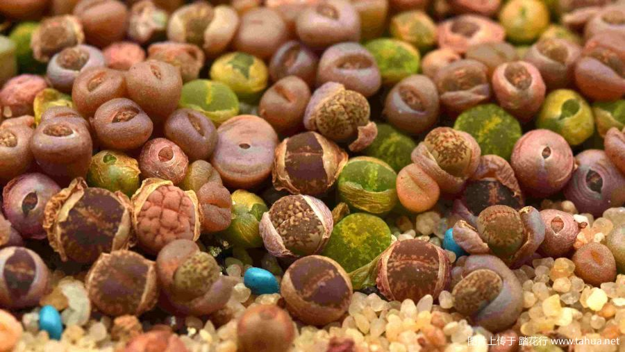 生石花播种的一些经验总结