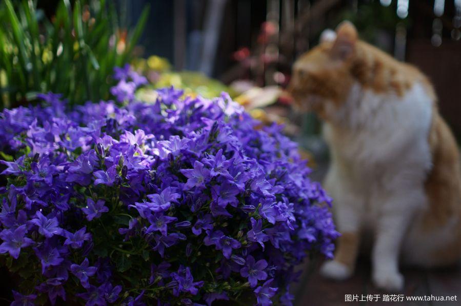猫咪和风铃草很配