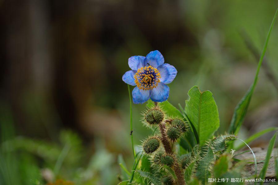 川西野花——巴郎山与夹金山