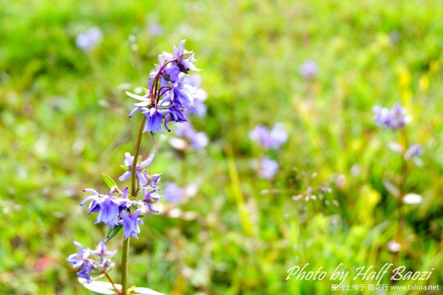 香格里拉的野花