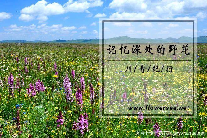 川青纪行:记忆深处的那些野花