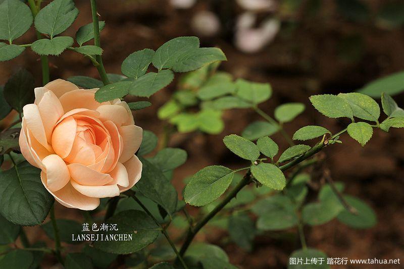 月季相伴,玫瑰人生