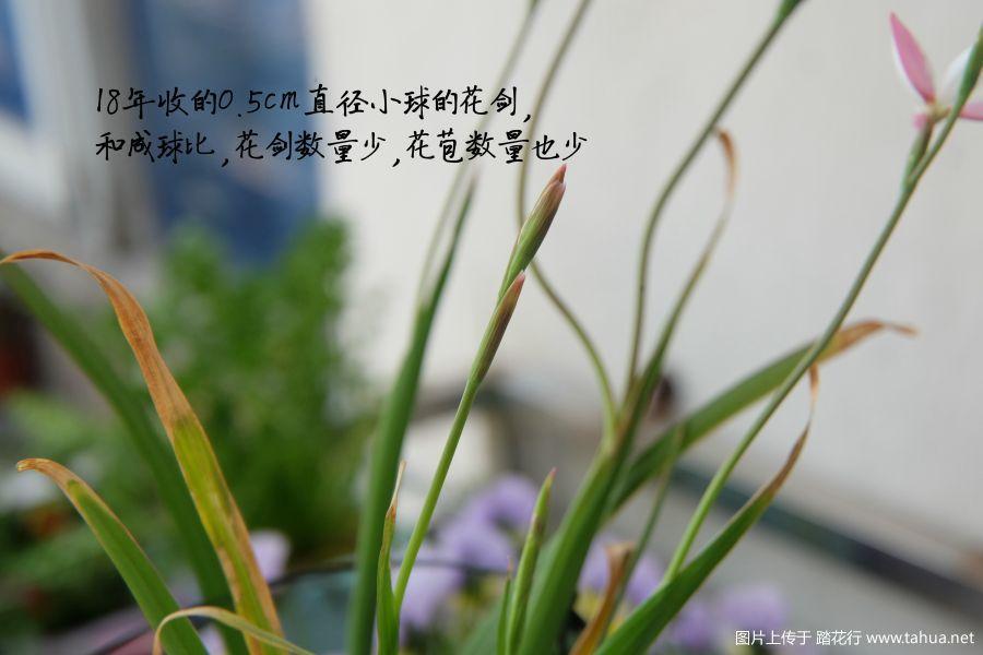 小球花苞图.jpg