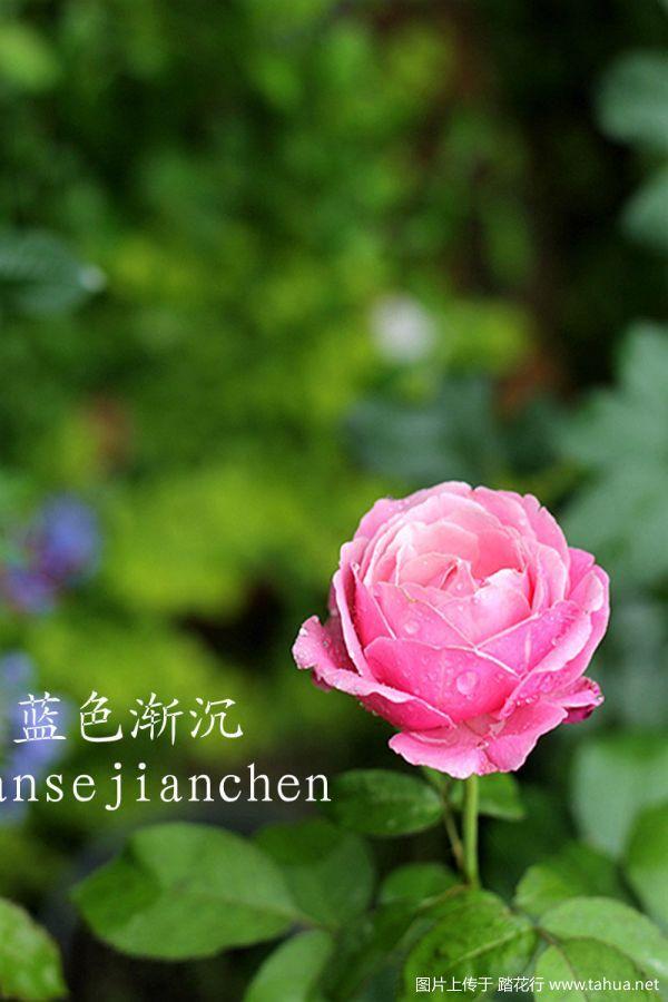 题图美里玫瑰.jpg