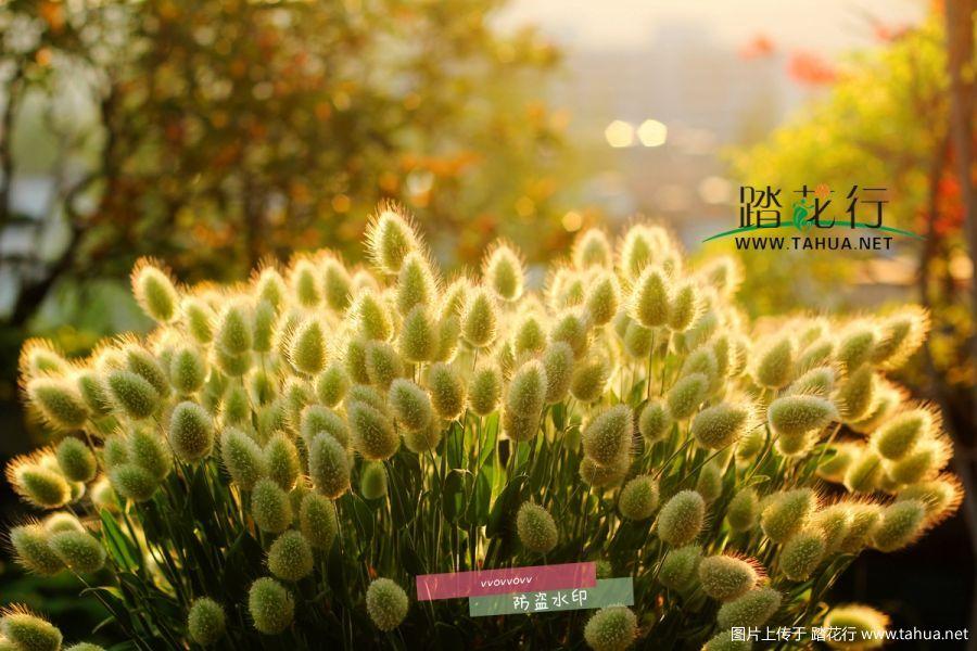 【兔尾草】 种植经验总结。