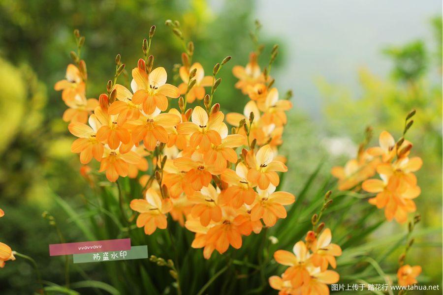 橙色鸢尾兰,粉色轰动,白色雪崩,crocata,玉米百合,紫斑风玲草。