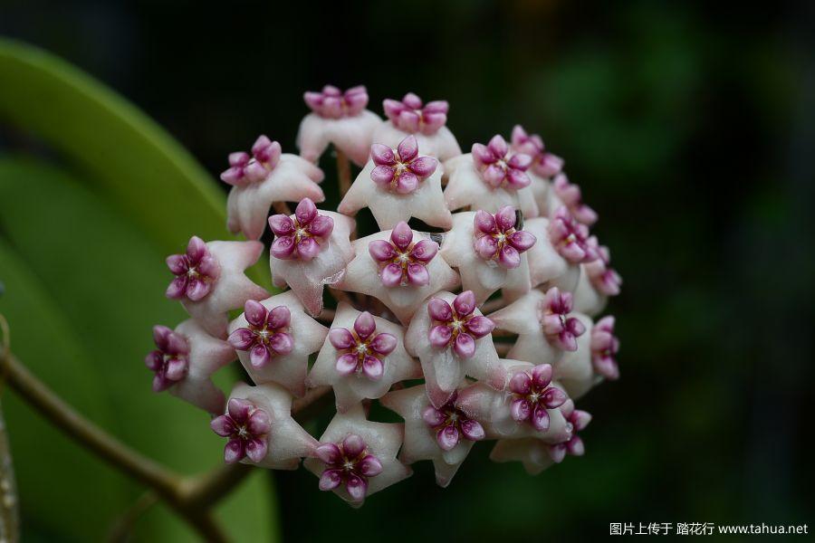 32-DSC_9645Hoya sweet scent(BL01).JPG