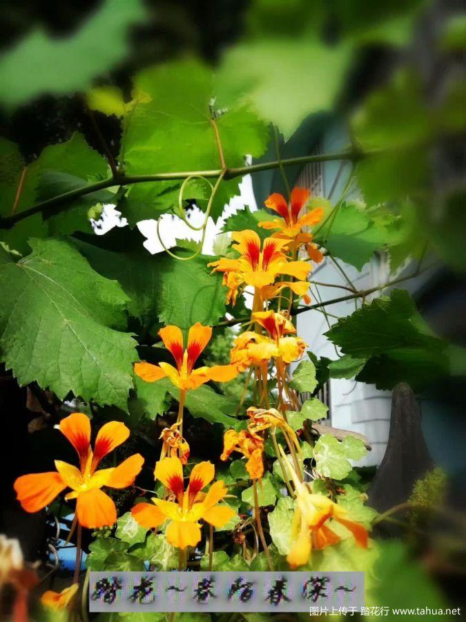 旱金莲在唱歌