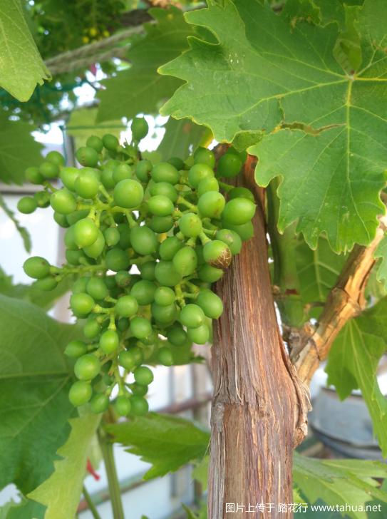 葡萄蔬果.png