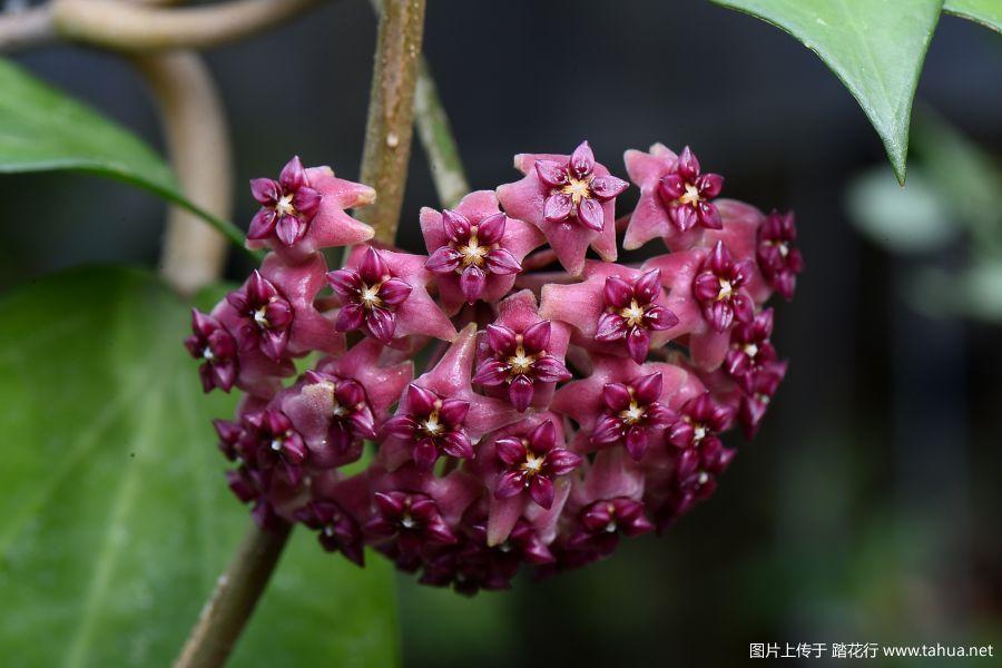 8-DSC_8337hoya cinnamomifolia var. purpureofusca.JPG