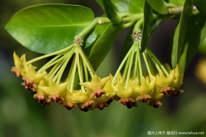 Hoya densifolia密叶球兰.JPG