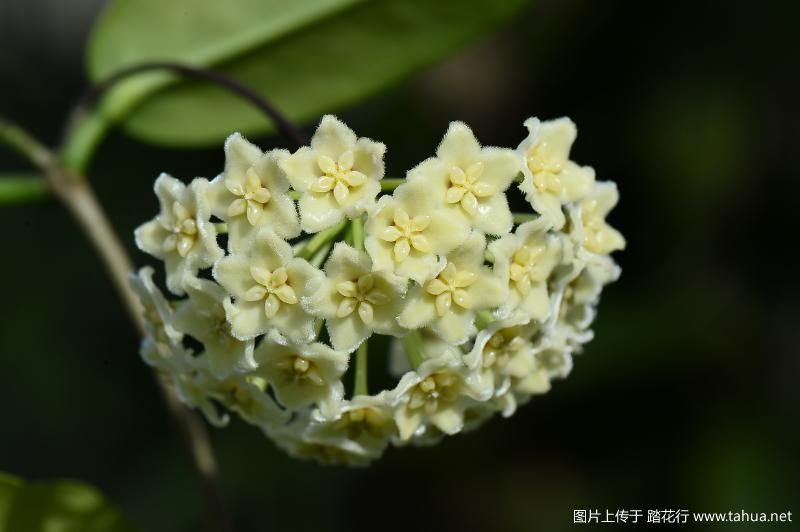 Hoya dimorpha.JPG