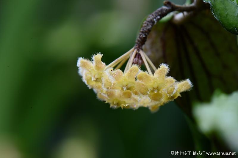 Hoya erythrina.JPG
