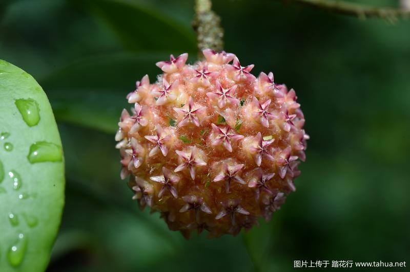 Hoya mindorensis (Pink).JPG