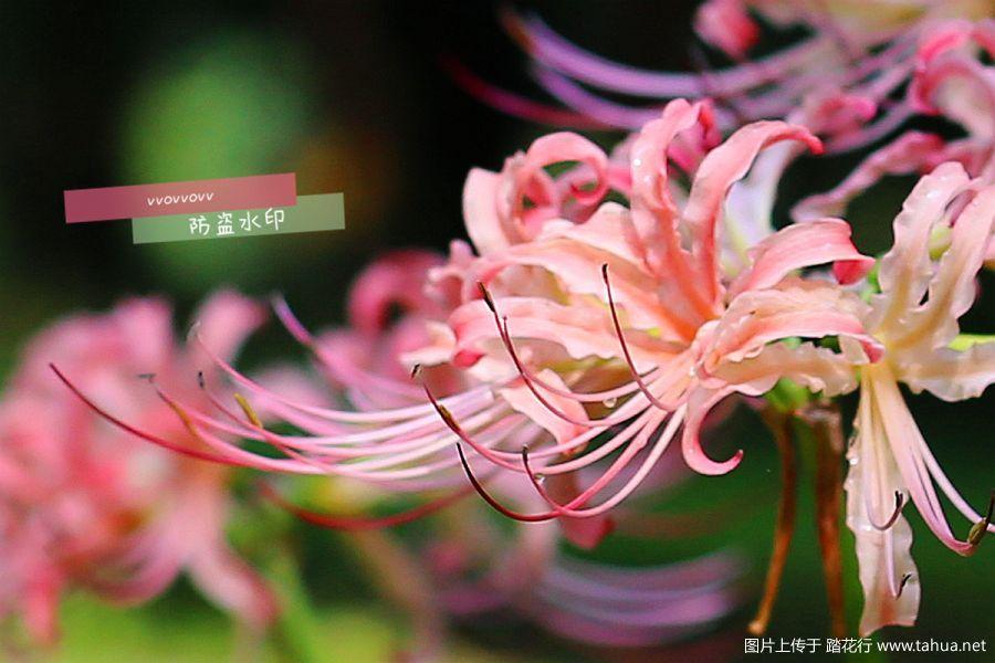 石蒜。【杭州植物园】